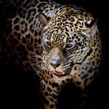 Portrait de Jaguar Photo stock