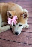 Portrait de Japonais Akita Dog With Ribbon Photos stock