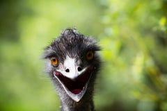 Portrait de jeune émeu un zoo Image libre de droits