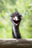 Portrait de jeune émeu un zoo Image stock