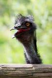 Portrait de jeune émeu un zoo Photo libre de droits