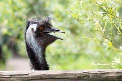 Portrait de jeune émeu un zoo Photographie stock