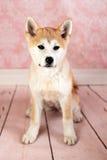 Portrait de jeune Akita Dog Image libre de droits