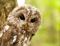 Portrait de jeune aluco de Strix - hibou fauve Photo stock