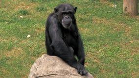 Portrait de jeune chimpanzé se reposant sur une roche et se rayant au zoo banque de vidéos
