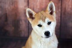 Portrait de jeune Japonais Akita Dog Photo stock