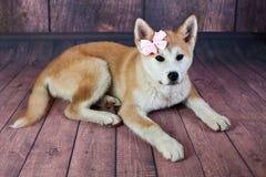 Portrait de jeune Japonais Akita Dog With Ribbon Images stock