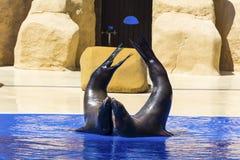 Portrait de joint marin embrassant près de la piscine d'eau Image stock
