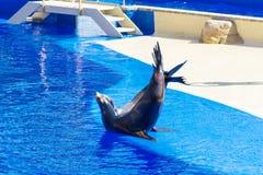 Portrait de joint marin embrassant près de la piscine d'eau Photo libre de droits