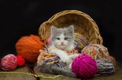 Portrait de joli chaton gris mignon Chaton drôle et tricotage Photos libres de droits