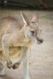 Portrait de kangourou Image stock