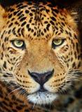 Portrait de léopard Image libre de droits
