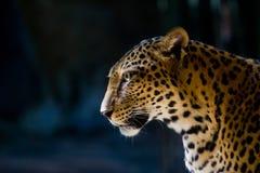 Portrait de léopard Image stock