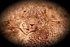 Portrait de léopard Photographie stock