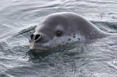 Portrait de léopard de mer Images libres de droits