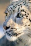 Portrait de léopard de neige Photographie stock