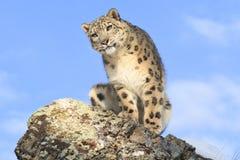 Portrait de léopard de neige Images libres de droits