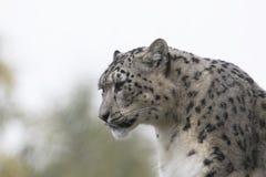 Portrait de léopard de neige Photo stock