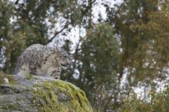 Portrait de léopard de neige Image stock