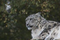 Portrait de léopard de neige Photographie stock libre de droits
