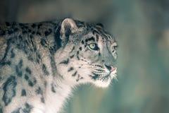 Portrait de léopard de neige Photos stock