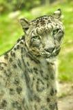 Portrait de léopard de neige d'un animal Photographie stock
