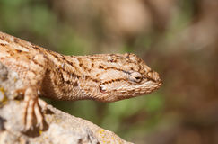 Portrait de lézard Photo stock