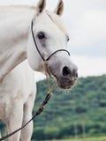 Portrait de l'étalon Arabe blanc photos stock