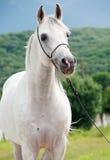 Portrait de l'étalon Arabe blanc image stock