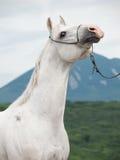 Portrait de l'étalon Arabe blanc au fond de montagne photo libre de droits