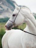 Portrait de l'étalon Arabe blanc au fond de montagne images stock