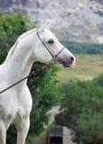 Portrait de l'étalon Arabe blanc au fond de montagne image libre de droits