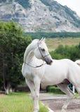 Portrait de l'étalon Arabe blanc au fond de montagne photographie stock