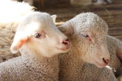 Portrait de l'agneau à pâturer dans le village Image libre de droits
