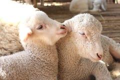 Portrait de l'agneau à pâturer dans le village Image stock