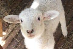 Portrait de l'agneau à pâturer dans le village Photo libre de droits
