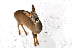 Portrait de l'angle supérieur d'un petit faon sauvage sur un b neigeux Photographie stock