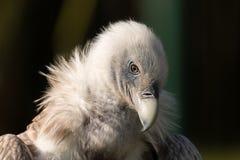 Portrait de l'Himalaya de vautour de griffon avec le fond foncé photo stock