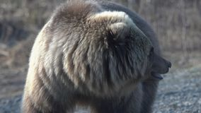 Portrait de l'ours brun sauvage affamé du Kamtchatka regardant de manière menaçante autour clips vidéos
