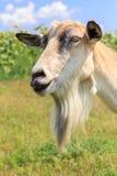 Portrait de la chèvre avec la barbe frôlant dans le domaine un jour d'été Image libre de droits