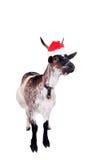 Portrait de la chèvre naine dans le chapeau de Noël sur le blanc Photos stock