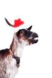 Portrait de la chèvre naine dans le chapeau de Noël sur le blanc Photo libre de droits