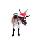 Portrait de la chèvre naine dans le chapeau de Noël sur le blanc Images stock