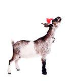 Portrait de la chèvre naine dans le chapeau de Noël sur le blanc Photographie stock