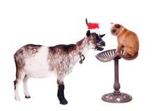 Portrait de la chèvre naine dans le chapeau de Noël sur le blanc Photographie stock libre de droits