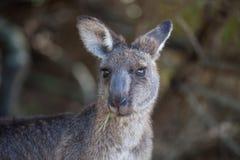 Portrait de la jeune position australienne mignonne de kangourou dans le domaine et de regarder la caméra images libres de droits
