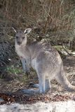 Portrait de la jeune position australienne mignonne de kangourou dans le domaine et de regarder la cam?ra photo stock