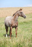 Portrait de jument gentille d'appaloosa Photo stock