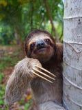 Portrait de la paresse Brown-Throated sur un arbre Image libre de droits