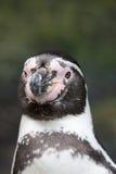 Portrait de la tête d'un pingouin de Humbolt Image libre de droits